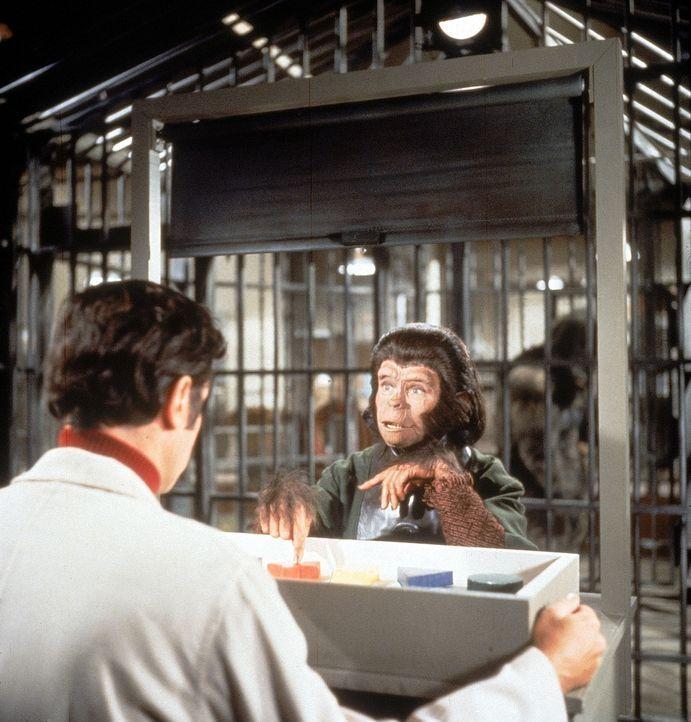 Zira (Kim Hunter, r.) erzählt, dass sie ein Kind erwartet, beginnt eine lebensbedrohliche Verschwörung gegen die Affen ...