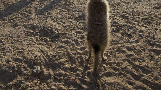 Erdmännchen - Superstars der Tierwelt - Die Erdmännchen genießen die letzten...