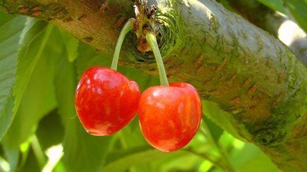 Kirschen-Kirschbaum-Baum-pixabay