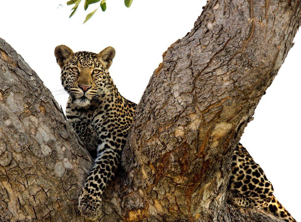 Die Leoparden von Savito verbringen häufig den Großteil des Tages auf Bäumen. Sie dienen ihnen als erhöhter Ansitz, um ihre potentielle Beute zu beo... - Bildquelle: Brad Bestelink Icon Films / Brad Bestelink