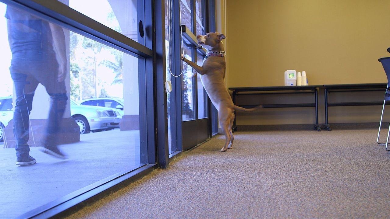 Immer wieder springt der aufgeregt Opal die Fensterscheibe hoch, belästigt Patienten oder schreckt die anderen Tiere in der Praxis auf. Kann Cesar i... - Bildquelle: NGC/ ITV Studios Ltd
