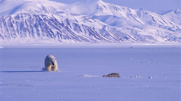 Steve Backshall zeigt drei beispiele, warum Bären Raubtiere sind: Ein Eisbär...