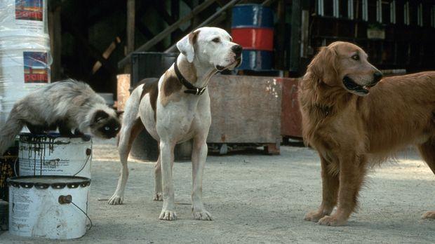 Dogge Chance, Golden-Retriever Shadow und Siamkatze Sassy erleben ein aufrege...