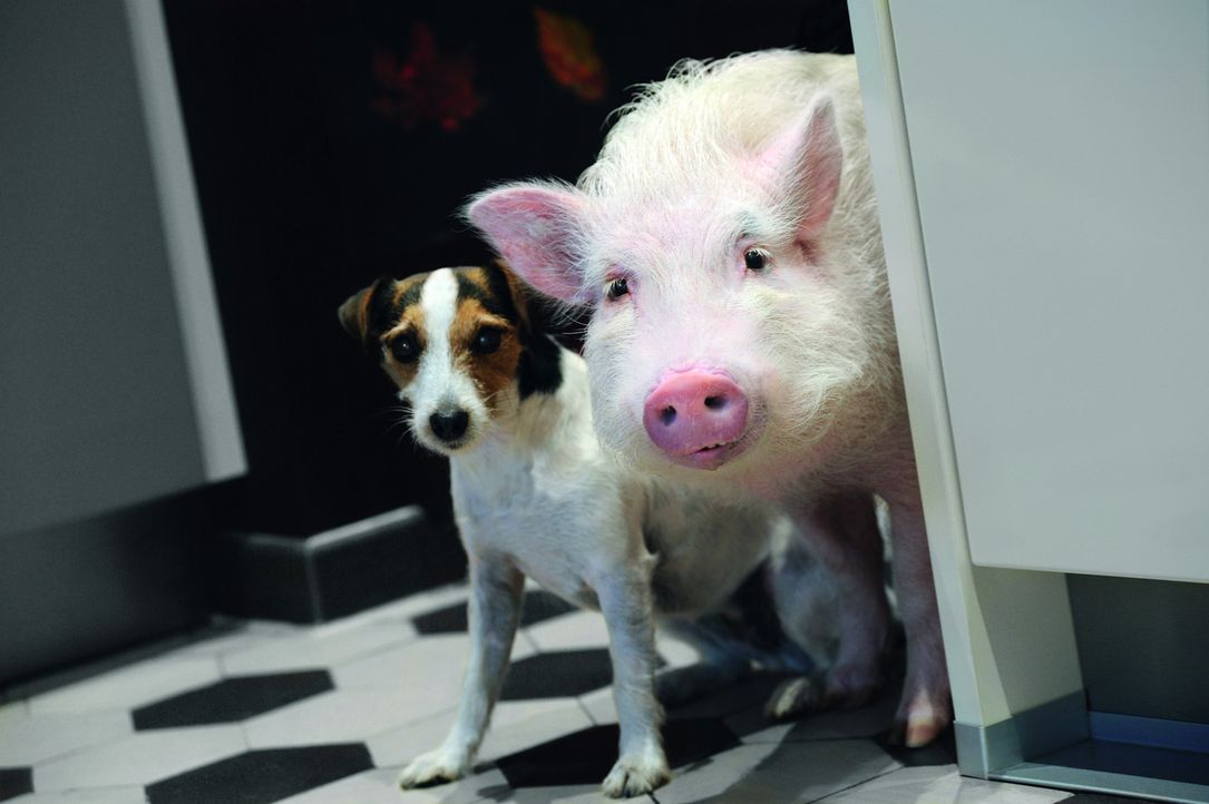 In tierischer Mission: Hausschwein Paula (r.) und Jack Russell Terrier Johnny (l.) helfen der Liebe auf die Sprünge ... - Bildquelle: Hardy Spitz SAT.1
