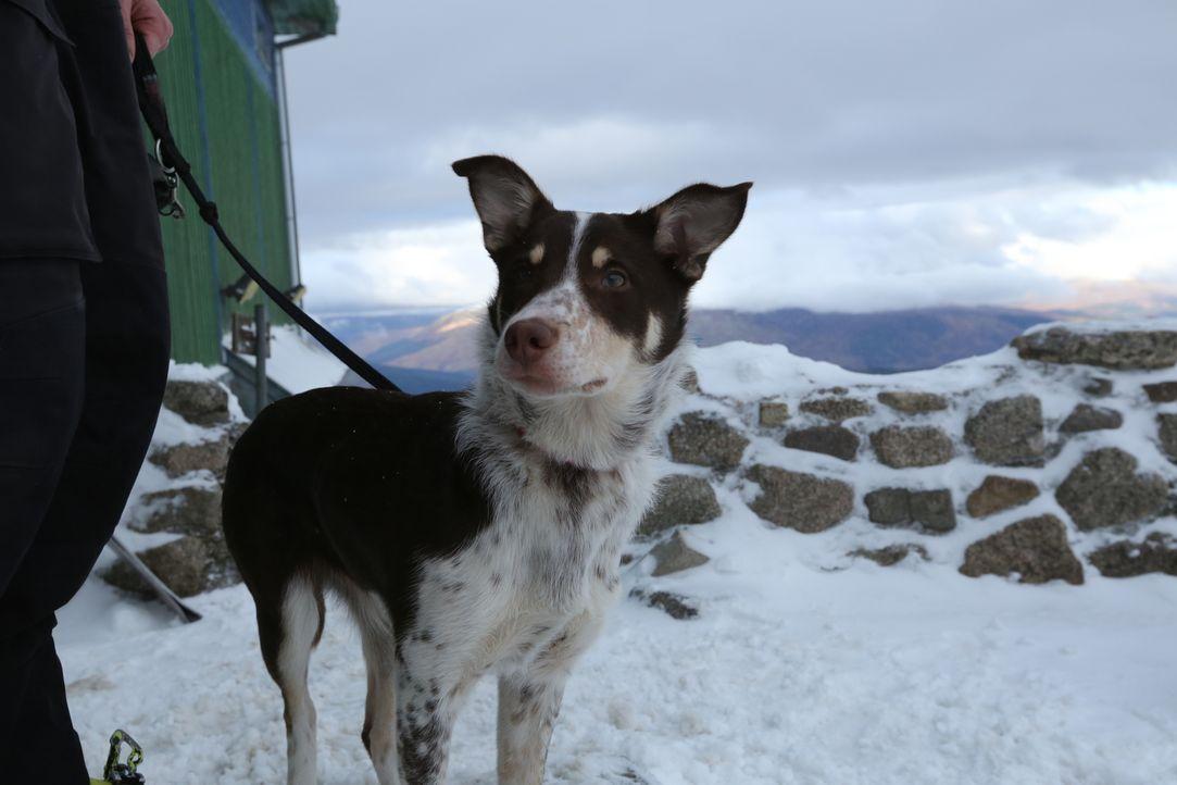 Border Collie Jura ist bereits ein Teenager unter den Hundekindern. Eines Tages soll sie Menschenleben retten, deshalb beginnt jetzt das harte Train...