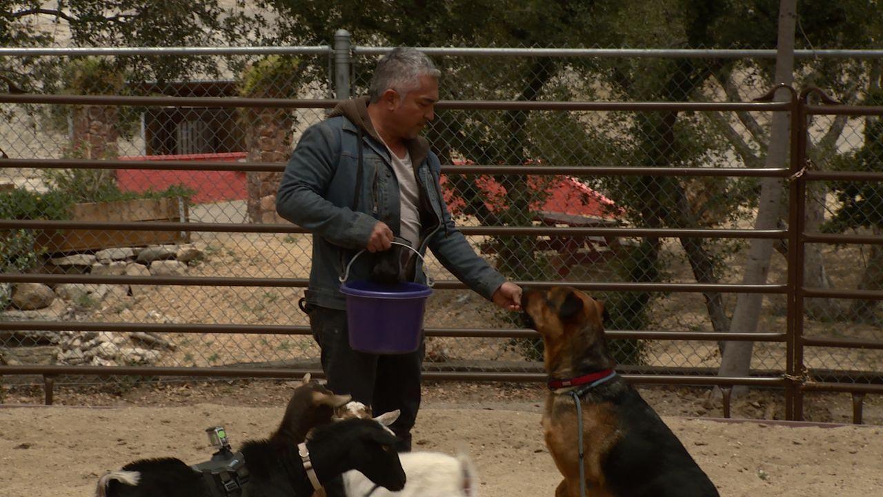 Hund Bodie attackiert auf der Melgoza Familien Ranch die übrigen Tiere und hat sogar schon einige Ziegen getötet. Wird es Cesar (Bild) wirklich geli... - Bildquelle: NGC/ ITV Studios Ltd