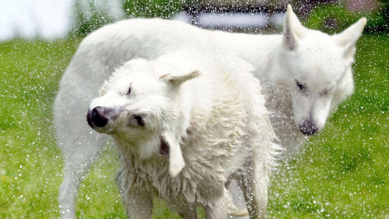 Weisser-Schaeferhund1 - Bildquelle: dpa