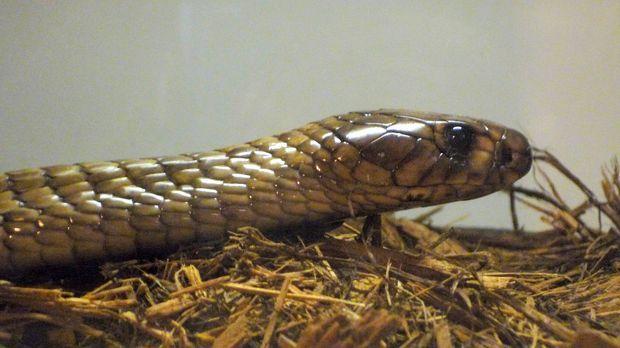 Lebensgefährliche Tierliebe: Carl Barden hegt eine Leidenschaft für Schlangen...