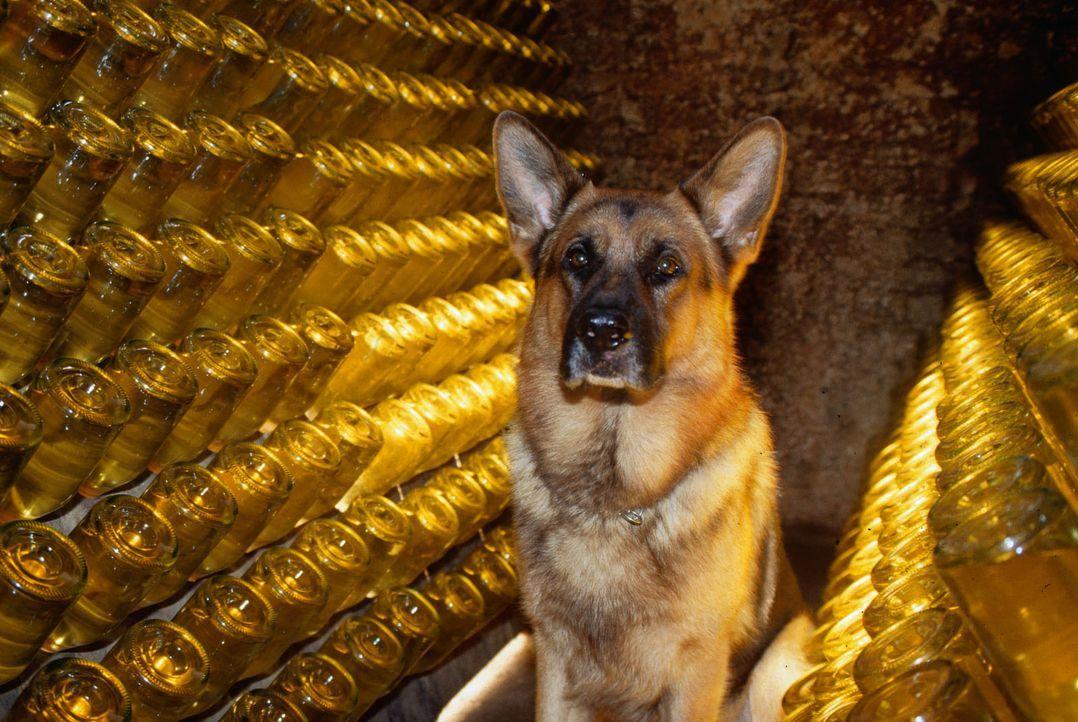 Rex nimmt im Gewölbe einer Sektkellerei eine Spur auf. - Bildquelle: Ali Schafler Sat.1