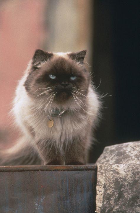 Die Siamkatze Sassy ist manchmal etwas hochnäsig, was ihre vierbeinigen Freunde oft zur Weißglut treibt. - Bildquelle: Walt Disney Pictures