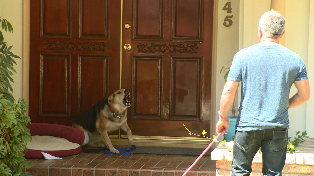 Der Deutsche Schäferhund Rocky macht seinem Frauchen das Leben zur Hölle. Er ist aggressiv gegen Menschen und auch andere Hunde. Kann Cesar (Bild) h... - Bildquelle: NGC/ ITV Studios Ltd