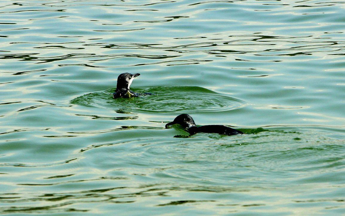 Die Pinguine fühlen sich bereits wieder ganz wohl, dank Tierarzt Dr. Chris Brown ... - Bildquelle: WTFN Entertainment