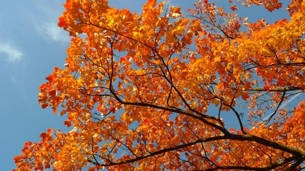 Ahorn-Baum-Blätter-rot-pixabay