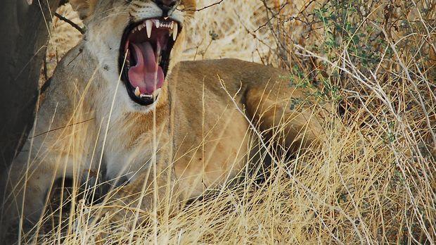 Die Löwin präsentiert ihre scharfen Zähne ... © Charlie Bingham Charlie Bingh...