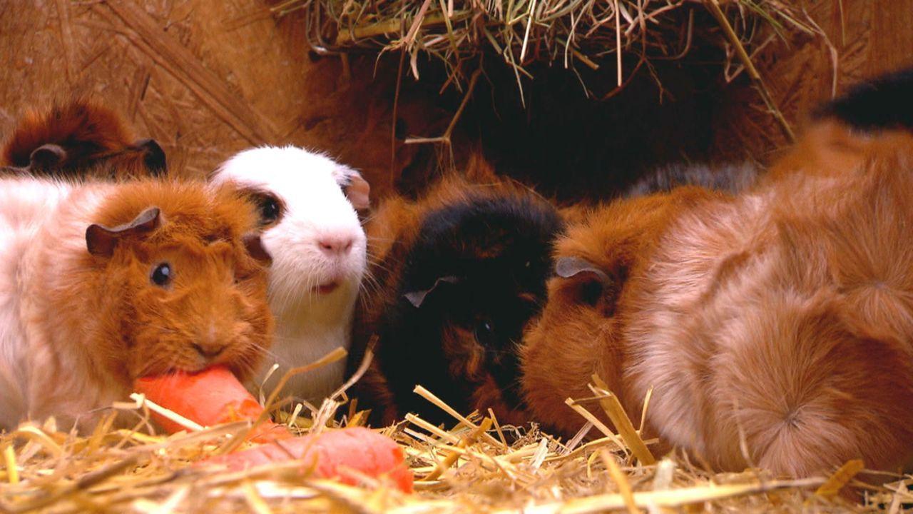 Ines Just aus der Nähe von Münster züchtet Meerschweinchen und konnte die Geburt des Nachwuchses filmen ... - Bildquelle: SAT.1