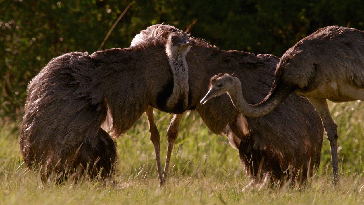 """Strauß, Emu, Kasuar, Nandu und der Kiwi - diese """"bodenständigen"""" Vögel wurden von der Natur mit einem außergewöhnlichen Federkleid und völlig zweckl... - Bildquelle: Ralph Bower 2015 BBC"""