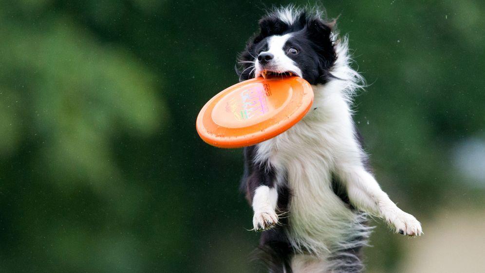 Hundefrisbee: Funsport für Vierbeiner und ihr Herrchen - Bildquelle: dpa