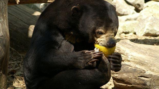 Der Malaienbär