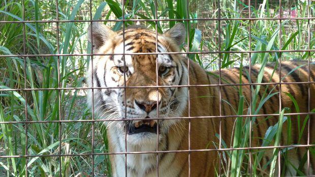 Immer wieder kommt es zu tödlichen Zwischenfällen mit Raubtieren wie Tigern,...