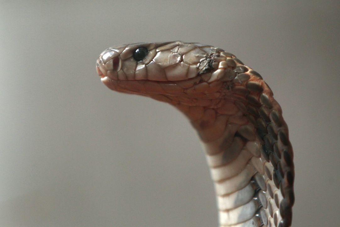 Kobra - Bildquelle: dpa