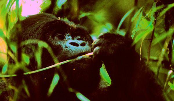 Gorilla Männchen - Bildquelle: Richard Gress