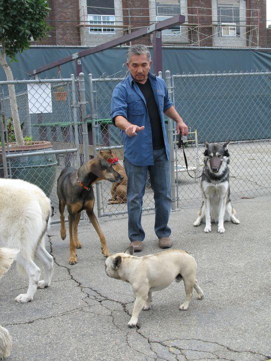 Cesar soll helfen, die beiden wilden Wölfe Vada und Hyde zu Haustieren erziehen. Ob er der Natur einfach ein Schnippchen schlagen kann? - Bildquelle: Rive Gauche Intern. Television