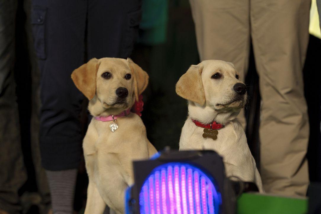 Marley und seine Hundefreundin sind gespannt was sie als nächstes erwartet. Bei einem Hundewettbewerb müssen sie alle möglichen Hürden nehmen. Ob si... - Bildquelle: 2011 Twentieth Century Fox Film Corporation. All rights reserved.