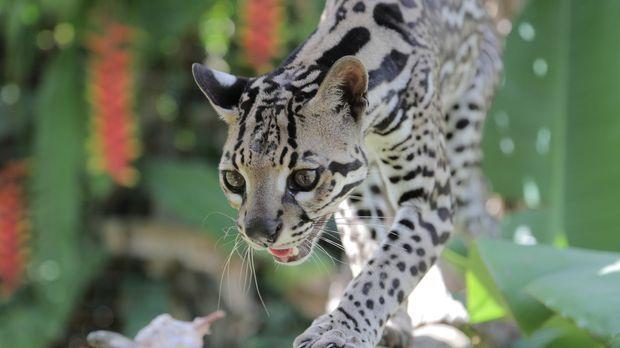 Trinidad's einzige Wildkatze: Der eher nachtaktive Ozelot ist ein Einzelgänge...