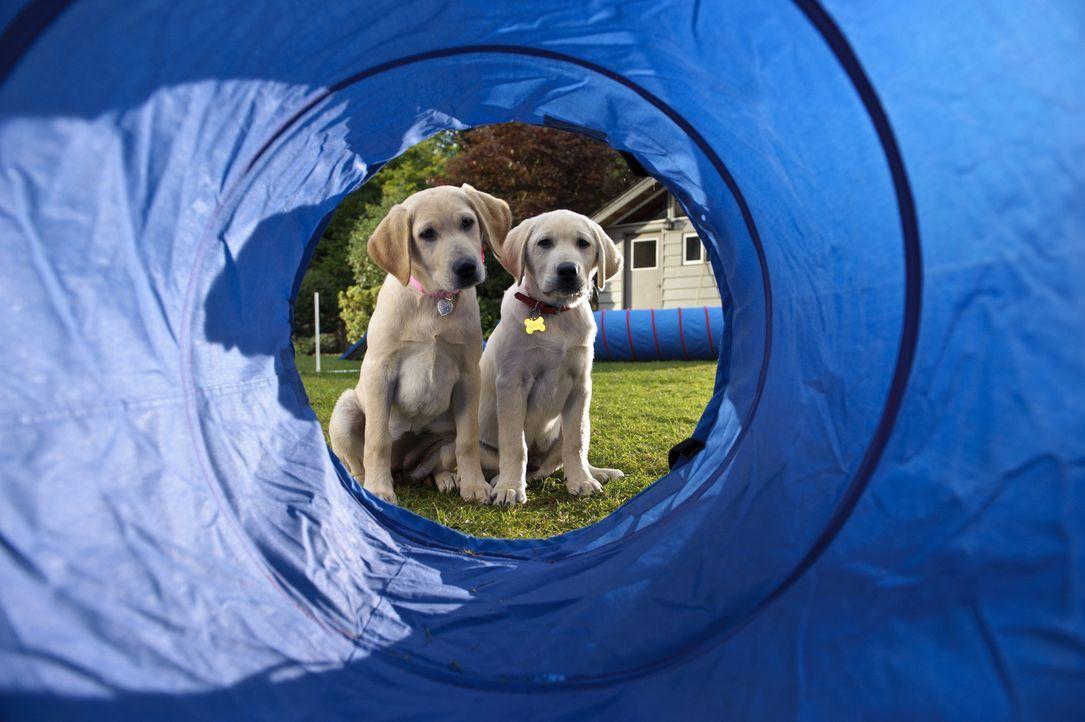 """""""Und da sollen wir durch?!"""" Marley und seine Hundefreundin werden für den Hundewettbewerb unter den Nachbarhunden trainiert. Ob sich der Aufwand loh... - Bildquelle: 2011 Twentieth Century Fox Film Corporation. All rights reserved."""
