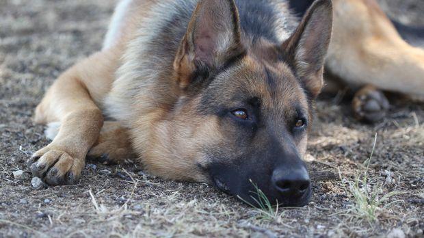 Mojo ist ein aktiver Schäferhund-Welpe, der eine ziemliche Unordnung hinterlä...