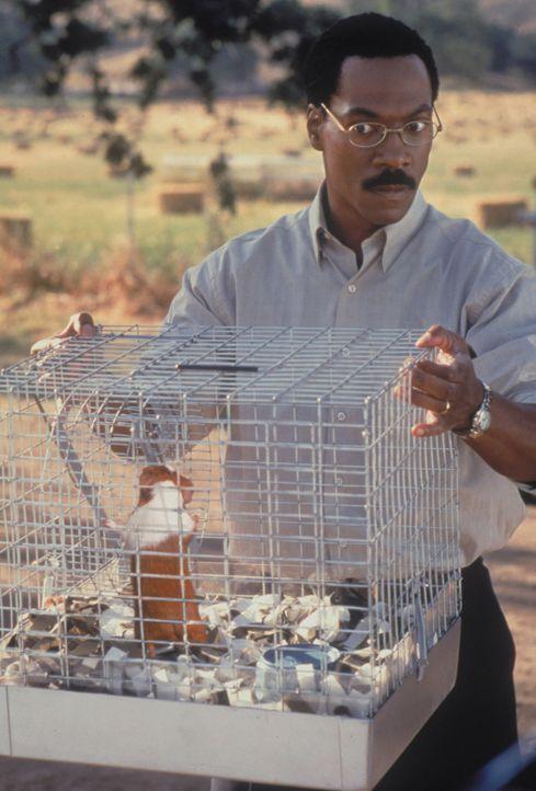 Dr. Dolittle (Eddie Murphy) geht mit seinem witzigen Meerschweinchen äußerst behutsam um ... - Bildquelle: 1998 Twentieth Century Fox Film Corporation. All rights reserved.