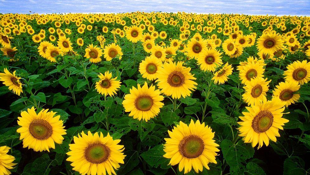 Sommer, Sonne und strahlende Blüten: Sonnenblumen Bild