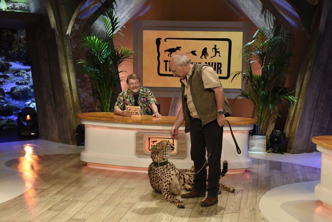 """Moderator Jürgen von der Lippe (l.) und Dr. Wolf (r.) stellen in der Comedy-Quiz-Show """"Tiere wie wir"""" kuriose Fragen, auch zu den Geparden ... - Bildquelle: Martin Rottenkolber SAT.1"""