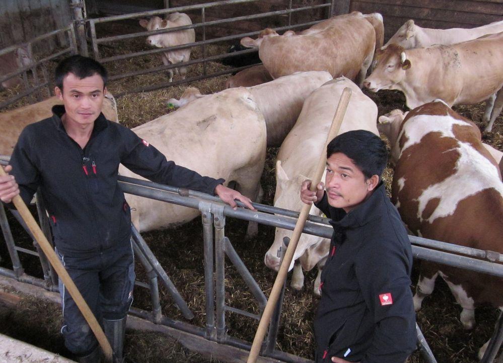 Die Brüder Noy (l.) und Kitt (r.) versorgen die Kühe auf dem Hof fast 9000 km fernab ihrer Heimat Chang Rai im Norden Thailands. - Bildquelle: kabel eins