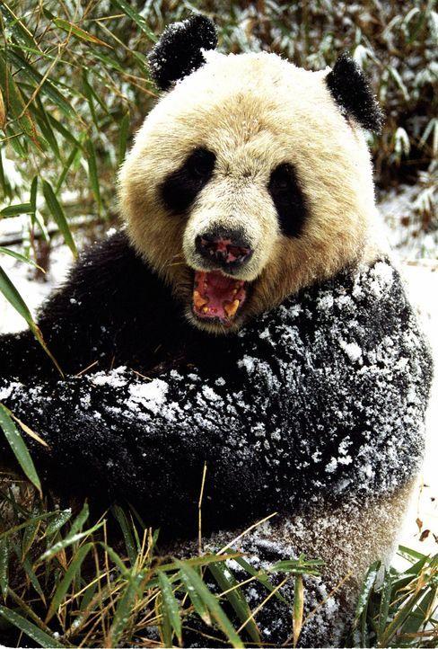 Die großen Pandas in China stehen unter Artenschutz und gehören zu den faszinierensten Tieren der Welt. - Bildquelle: John Downer Productions