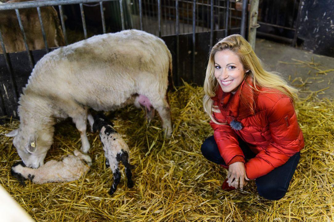 Andrea Kaiser besucht Familie Heseker auf ihrem Erlebnisbauernhof in Warendorf und wird Zeuge einer Zwillings-Lammgeburt .. - Bildquelle: Willi Weber SAT.1