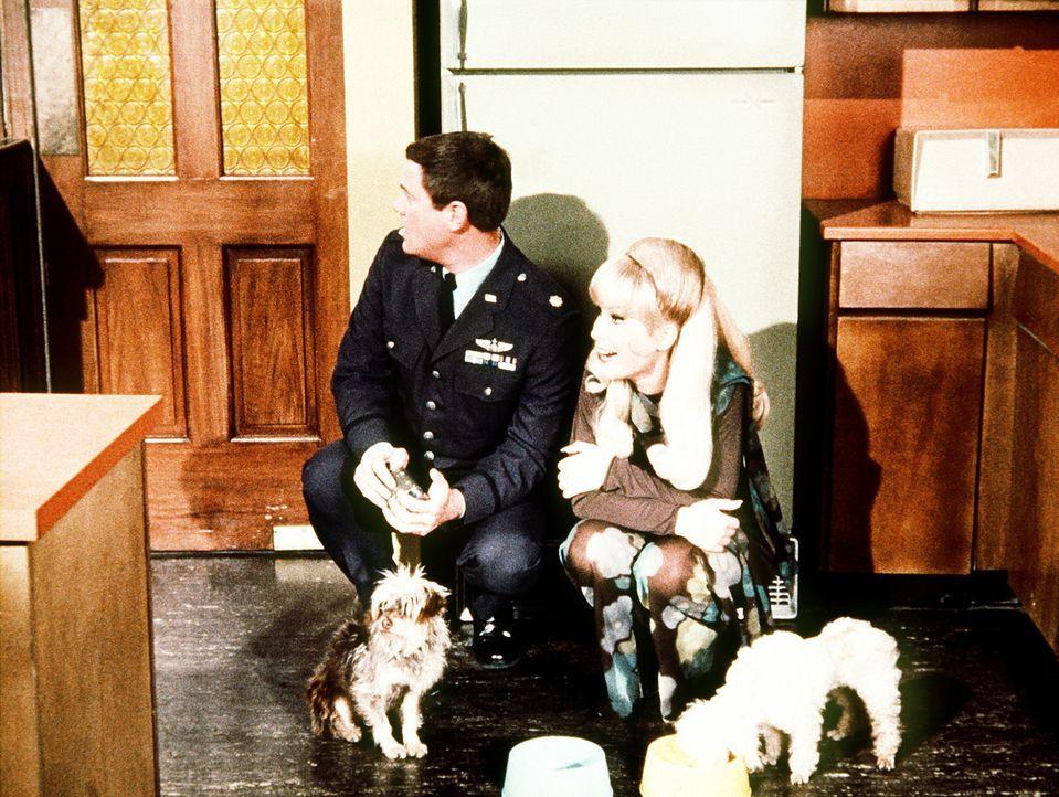 Niemand darf erfahren, dass Jeannies (Barbara Eden, r.) und Tonys (Larry Hagman, l.) Hunde in Wirklichkeit Zauberhunde sind und magische Fähigkeiten... - Bildquelle: Columbia Pictures