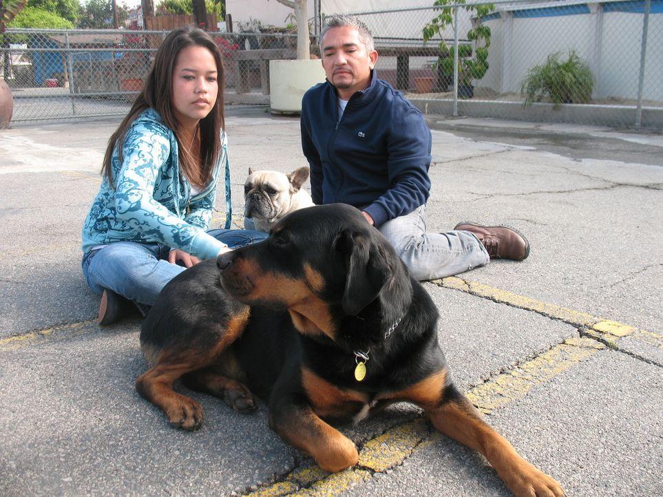 Cesar Millan kümmert sich heute um den Rottweiler Apollo, der nur mit Tierpflegerin Bree zurechtkommt. Alle anderen Menschen attackiert er ... - Bildquelle: Rive Gauche Intern. Television