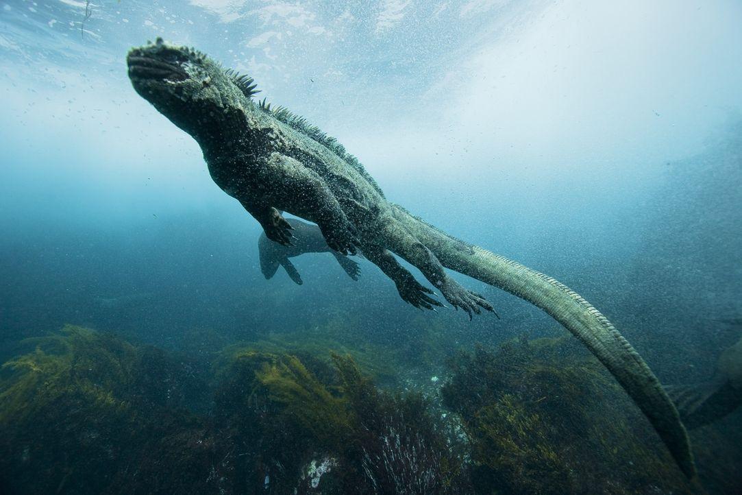 Die Meerechse ist die einzige heute lebende Echse, die von Nahrung lebt, die sie im Meer sucht. Sie hat sich perfekt an ihren Lebensraum angepasst ... - Bildquelle: Pascal Kobeh Universum Film