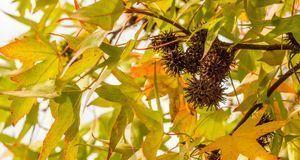 In den Früchten des Amberbaums finden sich leider nicht viele fruchtbare Samen.