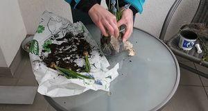 Die Rinde wirkt im Glas besonders dekorativ und verdeckt die Blumenzwiebeln d...