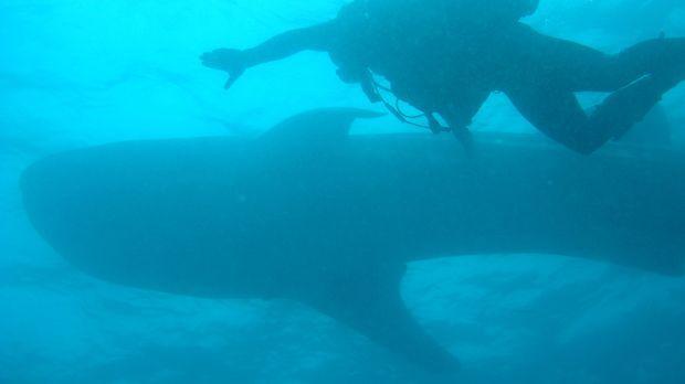 In den Tiefen des Ozeans taucht Steve Backshall mit einem Walhai ... © James...