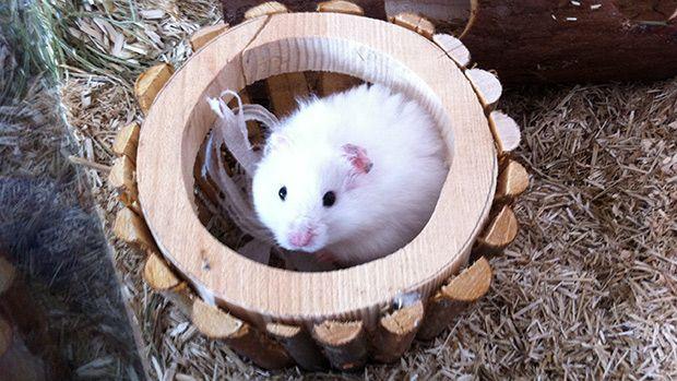 pbb-Hamster_11