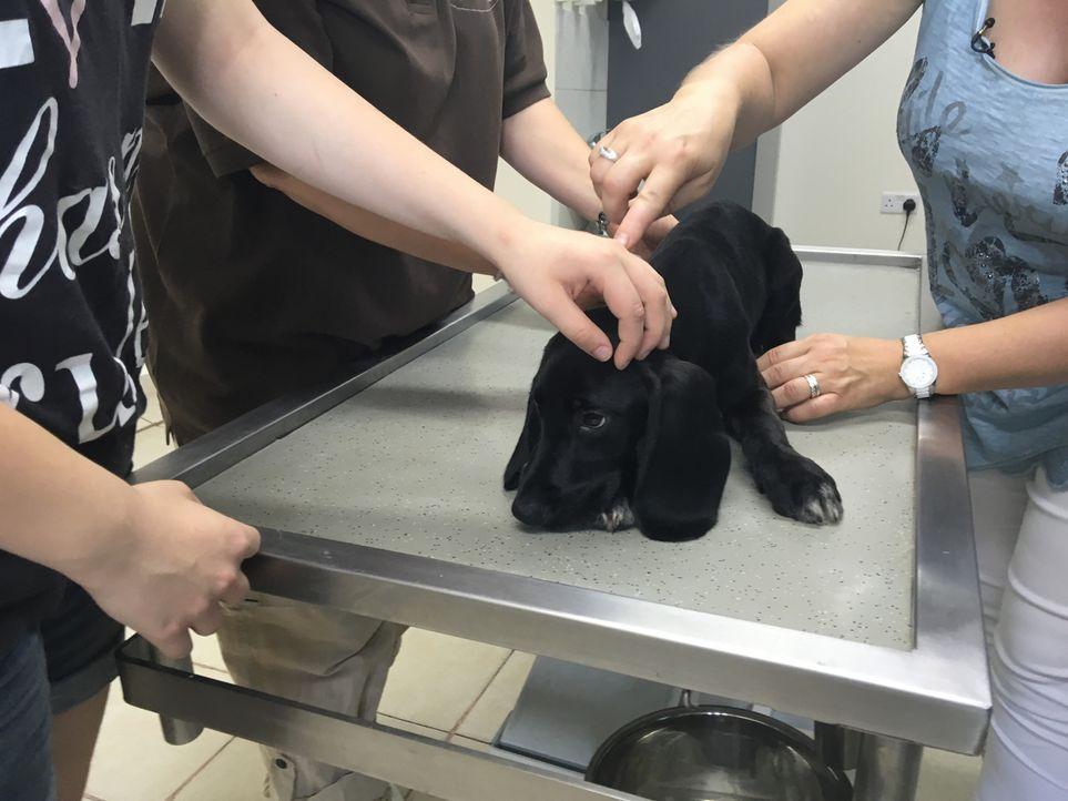 Bevor der Hund nach Deutschland ausreisen darf, wird er erst gründlich untersucht, wird geimpft und erhält seine Papiere ... - Bildquelle: Sat.1