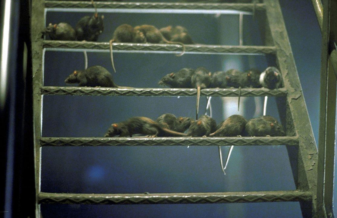 Im 14. Jahrhundert starben in Europa 25 Millionen Menschen an Pest. Ratten, die in Schiffsladeräumen vom Schwarzen Meer nach Genua gekommen waren,... - Bildquelle: Jiri Hanzl ProSieben