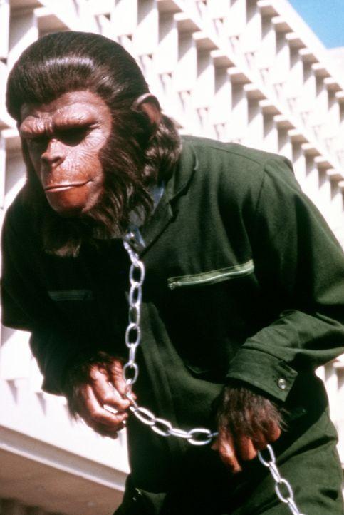 Nach außen hin ein Sklave, bereitet Cäsar (/Roddy Mcdowall) insgeheim den Aufstand der unterdrückten Affen gegen die Menschen vor ... - Bildquelle: Twentieth Century-Fox Film Corporation