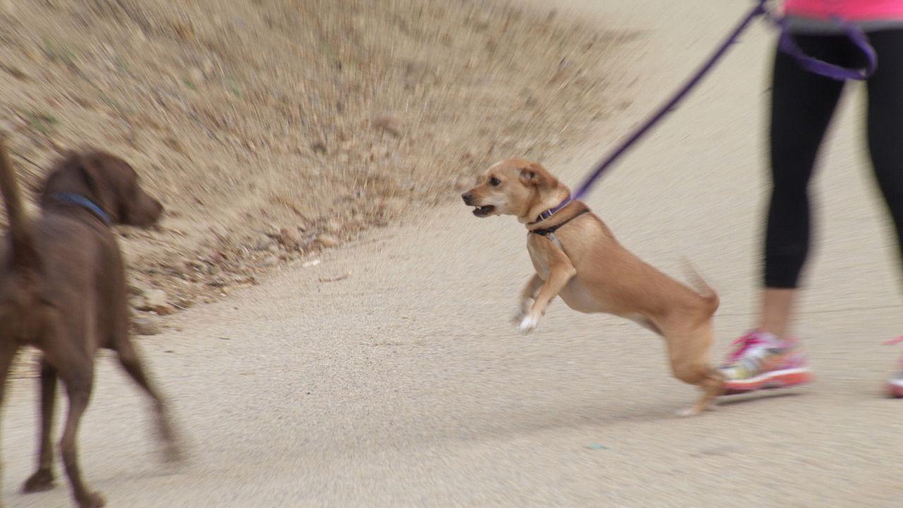 Hollys Terrier Lexie Jane greift alle Hunde an, die ihrem Frauchen zu nahe kommen. Doch sobald Holly außer Reichweite ist, ist die Hündin brav wie e... - Bildquelle: NGC/ ITV Studios Ltd