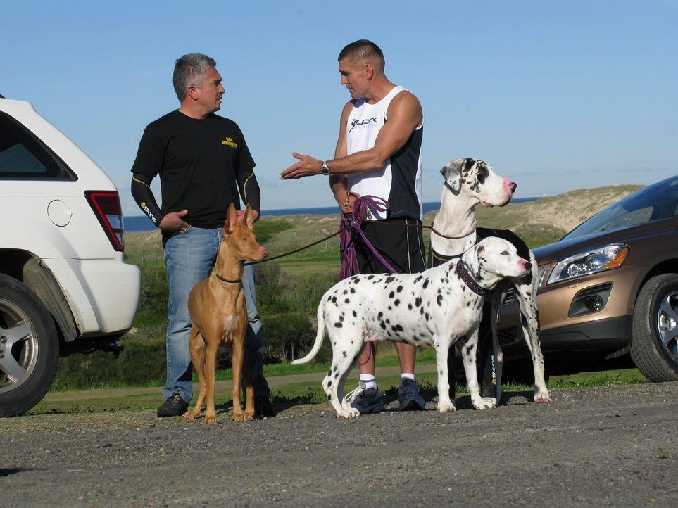 Cesar Millan (l.) trifft in Australien den Personal Trainer Paul Watson. Er ist das Herrchen der Deutschen Dogge Willow, die einfach nicht damit auf... - Bildquelle: 2014 Rive Gauche Television. All rights reserved.