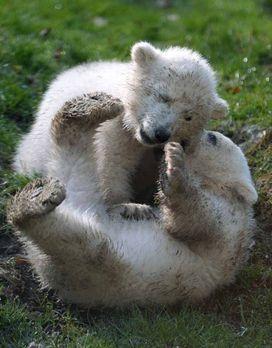 Die süßesten Tiere der Welt: Eisbärbabys - Bildquelle: AFP