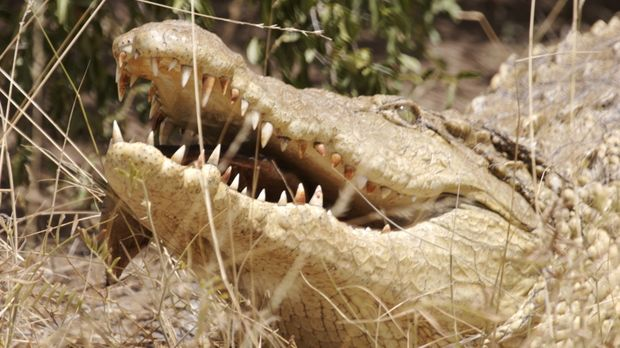 Hat das Krokodil seinen tödlichen Ruf tatsächlich verdient? © BBC